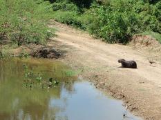 Giant Guinea Pig