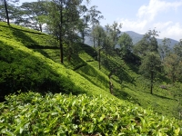 A tea covered hill