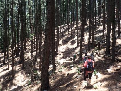 Many pine trees