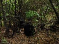 More actual mountain gorillas