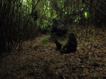 Actual wild mountain gorillas