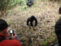 A blurry baby gorilla
