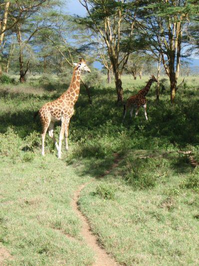 More giraffe