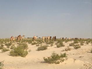 Many camels