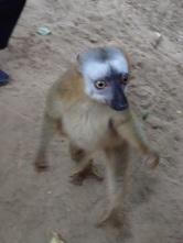 A lemur