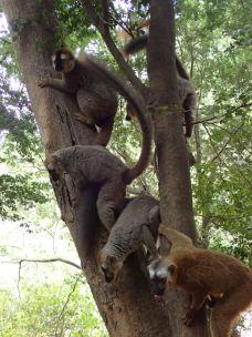 Hungry lemurs