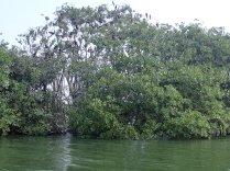 Mangroves with many birds