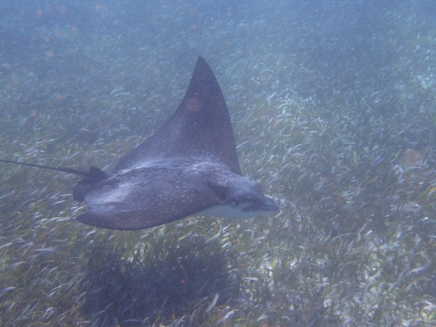 More sting ray