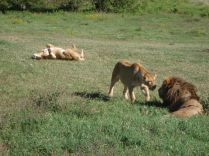 Three lions close up