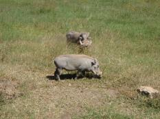 African pigs