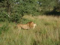 More lions