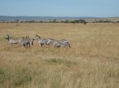 Spot the zebra