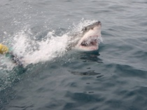 A Great White