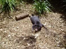 A fluffy killing machine (Tasmanian Devil)